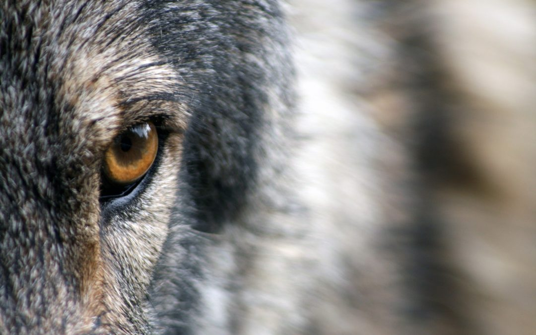 Tale of the two wolves and Stanford Experiment